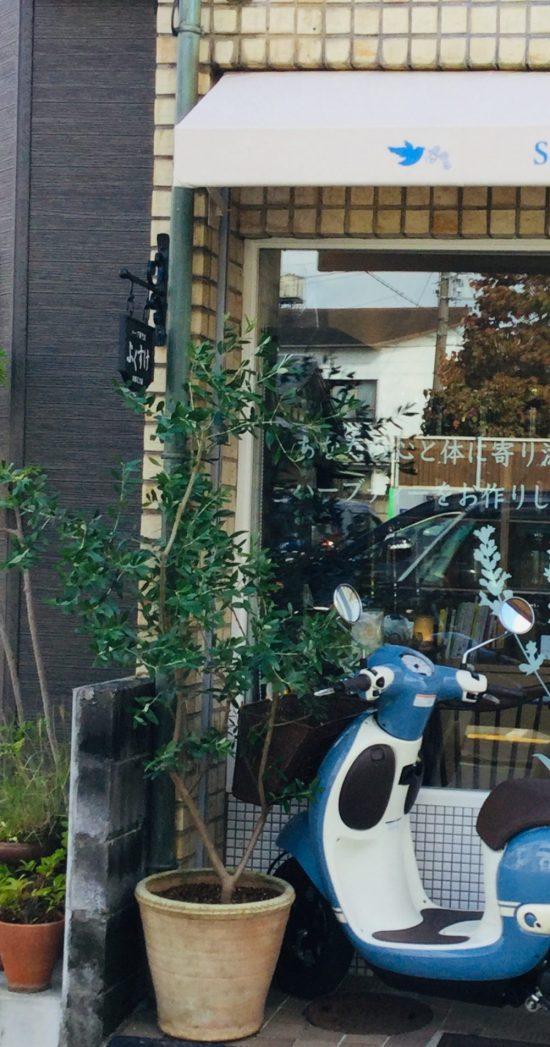 店頭にオリーブの木が帰ってきました